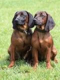 Två hundkapplöpning Arkivfoton