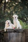 Två hundkapplöpning av avelgolden retriever som sitter på en mörk bakgrund bland palmträden royaltyfri foto