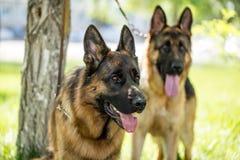 Två hundkapplöpning av en fårhund på naturen Arkivfoto