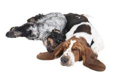 Två hundkapplöpning (Bassethunden och engelsk cockerspaniel) Arkivfoto