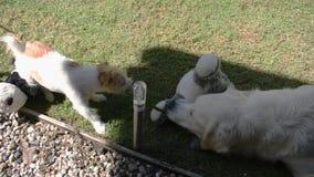 Två hundkapplöpning, en Jack Russell Terrier och en golden retrieverlekkamp över ett blad arkivfilmer
