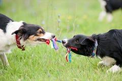 Två hundkapplöpning som leker med reptoyen Royaltyfri Bild