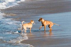Två hundkapplöpning hälsar sig på stranden royaltyfri fotografi