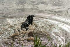 Två hundkapplöpning hoppar in i sjön för gyckel Royaltyfri Fotografi
