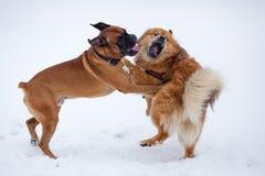 Två hundkapplöpning i ett slagsmål Royaltyfri Bild