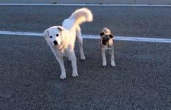 Två hundkapplöpning i gata royaltyfri fotografi