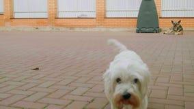 Två hundkapplöpning i near hus för gård, den vita lilla hunden att närma sig kameran stock video