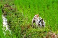 Två hundkapplöpning i risfält Royaltyfri Fotografi