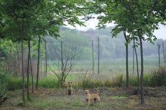 Två hundkapplöpning i skogsmarken royaltyfri foto