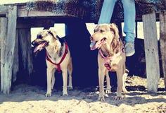 Två hundkapplöpning i stranden Arkivfoton