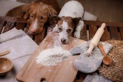 Två hundkapplöpning lagar mat i köket Älsklings- hemmastatt royaltyfri fotografi