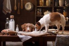 Två hundkapplöpning lagar mat i köket Älsklings- hemmastatt arkivfoto