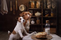 Två hundkapplöpning lagar mat i köket Älsklings- hemmastatt arkivbild