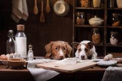 Två hundkapplöpning lagar mat i köket Älsklings- hemmastatt royaltyfria bilder