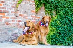 Två hundkapplöpning med patriotiska bandanas Arkivbilder