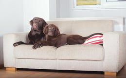 Två hundkapplöpning på en soffa Arkivfoto