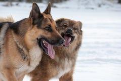 Två hundkapplöpning på gå Royaltyfri Foto