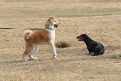 Två hundkapplöpning på gräsmattan Arkivbild