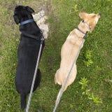 Två hundkapplöpning på kopplar som går i gräs- röjning som in ser, skilja sig åt Arkivfoton