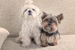 Två hundkapplöpning på soffan arkivfoto