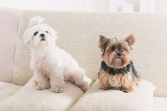 Två hundkapplöpning på soffan royaltyfria bilder