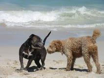 Två hundkapplöpning på stranden royaltyfri foto