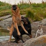 Två hundkapplöpning som besväras av tre 1 Royaltyfri Foto