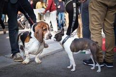 Två hundkapplöpning som hälsar sig, genom att sniffa royaltyfri fotografi