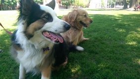 Två hundkapplöpning som håller ögonen på annan hundkapplöpninglek Royaltyfria Foton