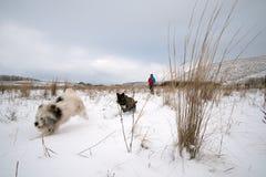 Två hundkapplöpning som jagar sig i fältet Royaltyfria Foton