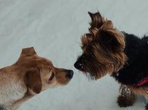 Två hundkapplöpning som kysser på snö royaltyfri foto