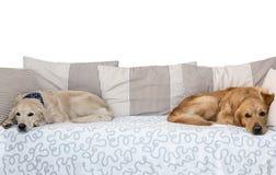 Två hundkapplöpning som ligger i säng på vit bakgrund Arkivfoton