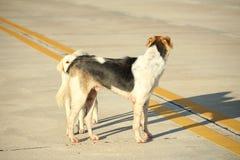 Två hundkapplöpning som pratar på gatan Konversation bland djur | Thailändsk hundkapplöpning royaltyfria bilder