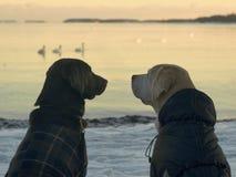 Två hundkapplöpning som ser de på horisonten i kallt vinterväder Arkivfoto