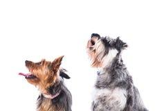 Två hundkapplöpning som ser upp in i luften Arkivfoton