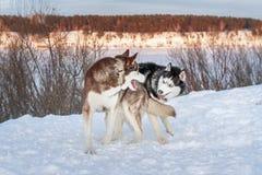 Två hundkapplöpning som Siberian skrovlig lek på vinterafton går i, parkerar Gulligt siberian skrovligt arkivbilder