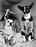 Två hundkapplöpning som sitter på en soffa med en hund som bakifrån fäster dem med en kniv (alla visade personer inte är längre u Royaltyfri Fotografi