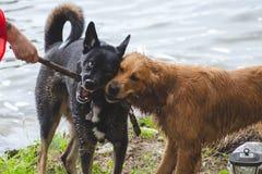 Två hundkapplöpning som slåss över en pinne royaltyfri foto