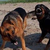 Två hundkapplöpning som slåss på stranden Royaltyfri Bild