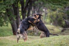 Två hundkapplöpning som in slåss, parkerar Royaltyfri Foto