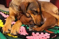 Två hundkapplöpning som sover på en filt Royaltyfria Foton