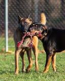 Två hundkapplöpning som spelar dela tillsammans en repleksak på hunden, parkerar royaltyfri fotografi