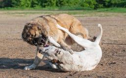 Två hundkapplöpning som spelar dogfight Arkivbilder