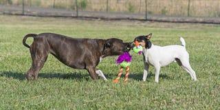 Två hundkapplöpning som spelar dragkampen i för att beta arkivbild