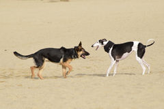 Två hundkapplöpning som spelar i en strand Fotografering för Bildbyråer