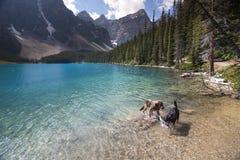 Två hundkapplöpning som spelar i vattnet av Lake Louise nära Banff Alberta Royaltyfri Fotografi