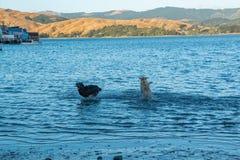 Två hundkapplöpning som spelar jakt i havsvatten royaltyfria bilder
