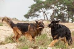 Två hundkapplöpning som spelar med en träpinne royaltyfria foton