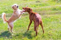 Två hundkapplöpning som spelar på fält Arkivfoto