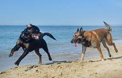 Två hundkapplöpning som spelar på stranden arkivbilder
